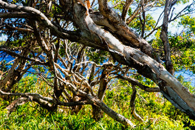 Thumbnail image of Paperbark tangle, melaleuca.