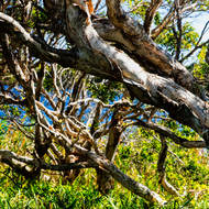 Paperbark tangle, melaleuca.