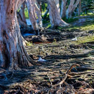 Seagulls resting amid the paperbark tree root tangles.