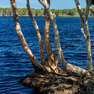 A paperbark tree juts into Lake Ainsworth.