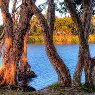 Dawn over Lake Ainsworth through the Paperbark trees.