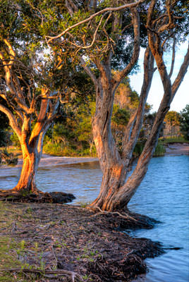 Thumbnail image ofDawn over Lake Ainsworth through the Paperbark...