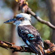 Kookaburra watching.