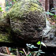Moss covered large burl on a fallen tree.