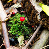 Small red fungi in the rainforest litter.