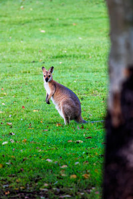 Thumbnail image ofWallaby in open grassy area at dusk.