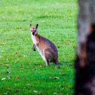 Wallaby in open grassy area at dusk.