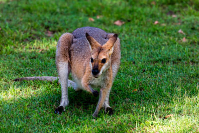 Thumbnail image ofWallaby feeding with tongue tip showing.