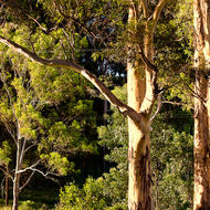 Gum tree basks in the later afternoon sun.