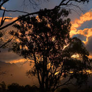 Gum tree silhouetted by sunset.