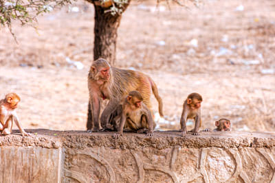 Thumbnail image ofMonkey mom and kids on the roadside wall.