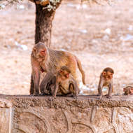 Monkey mom and kids on the roadside wall.