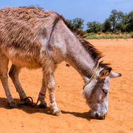 Hobbled donkey grazing (sand?).