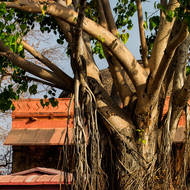 Bodhi tree, with aerial roots.