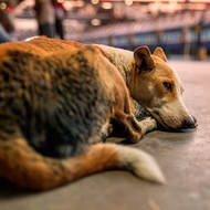 Dog, tired from the long wait.