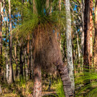 Large grasstree in eucalypt forest.
