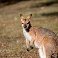 Grazing Red Necked wallaby.