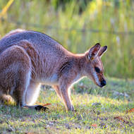 Red Necked wallaby.