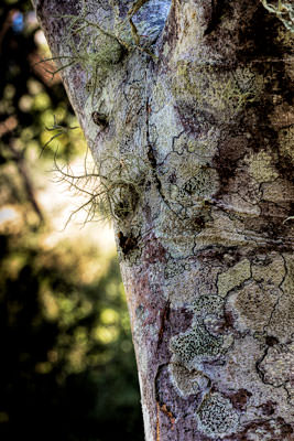 Thumbnail image ofFungus and lichen on a tree.