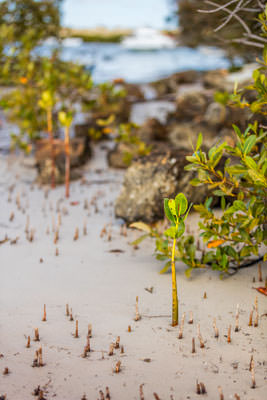 Thumbnail image ofMangroves at low tide.