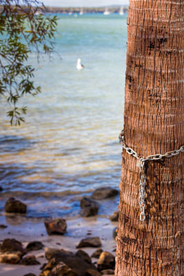 Thumbnail image of Palm tree locked and chained.