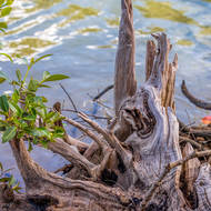 Persistent: Uprooted mangrove sprouting.