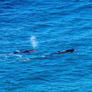 Whales cruising off Double Island Point.