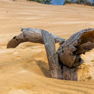 Tree consumed by drifting sand.