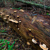 Bracket fungi thriving on a fallen rainforest giant.