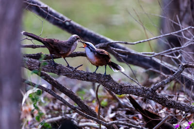 Thumbnail image ofGrey Crowned Babbler feeds chick a grasshopper.