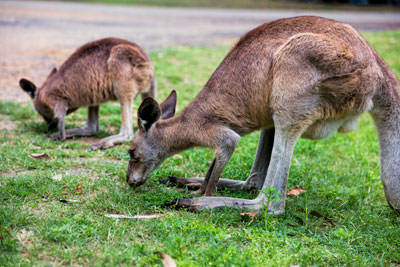Thumbnail image of Kangaroos grazing on open grass.