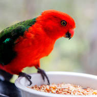 King Parrot comes in for an easy snack.