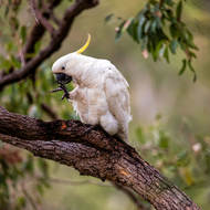 Sulfur Crested Cockatoo foot care.