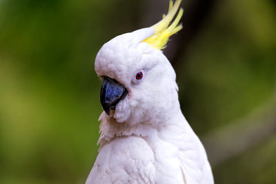 Thumbnail image of Watchful Sulfur Crested Cockatoo.