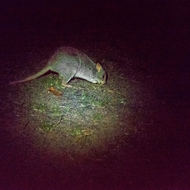 Shy bettong or rat kangaroo spotted by torchlight.