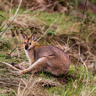 Startled Red Necked wallaby.