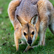 Red Necked wallaby posing for the camera.