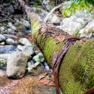 Fallen tree over Cronin Creek hosts moss and bracket fungus.