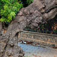 Gnarled tree trunk on the sidewalk.