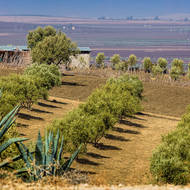 Well-ordered olive tree farm at Moulay Idriss.