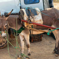 Date trading at the market, donkey brings them in, van takes them out.