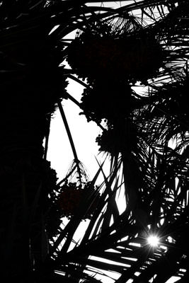 Thumbnail image ofSun flare through laden date palms.