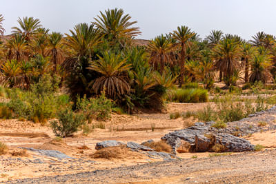 Thumbnail image ofDate palms follow a dry river bed in the desert.