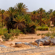 Date palms follow a dry river bed in the desert.