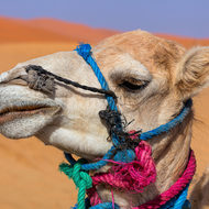 Color coded camel.