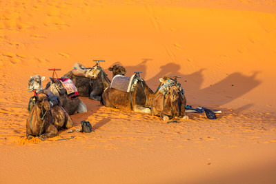 Thumbnail image ofCircle the camels.
