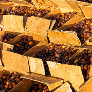 Dates, bulk wholesale at the morning market.
