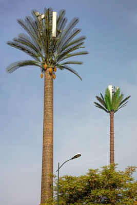 Thumbnail image ofCell phone towers disguised as date palms.