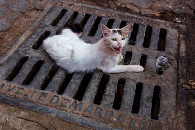 Thumbnail image ofChat du Maroc on Ville De Marrakech grate.