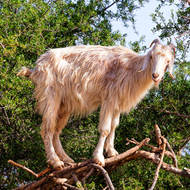 High on a tree was a lonely goat.
